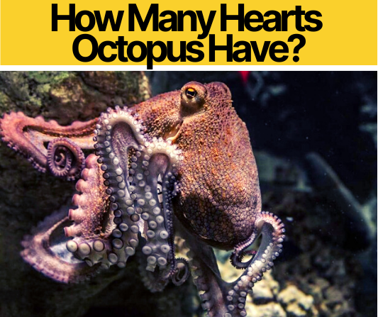 How Many Hearts Octopus Have? Why do Octopus have 3 Hearts?