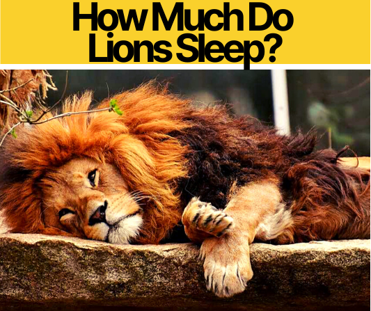 How Much Do Lions Sleep , at What time & Where?