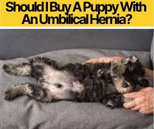 Should I Buy A Puppy With An Umbilical Hernia? Should You?
