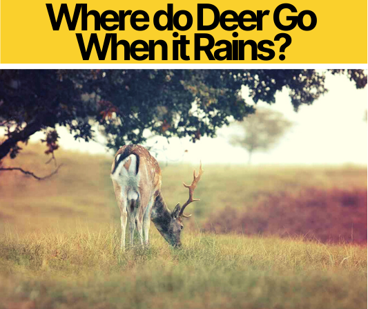 Where do Deer Go When it Rains - Do they Move in Rain?