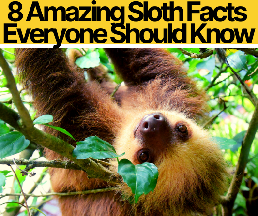 8 Amazing Sloth Facts Everyone Should Know