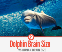 How Big is A Dolphin Brain - VS Human Brain Size