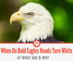 When Do Bald Eagles Heads Turn White - At What age & Why?