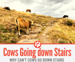 Why Can't Cows Go Down Stairs - Can they Go UP?