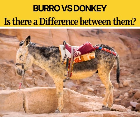 Burro VS Donkey - What's the Difference Between Them