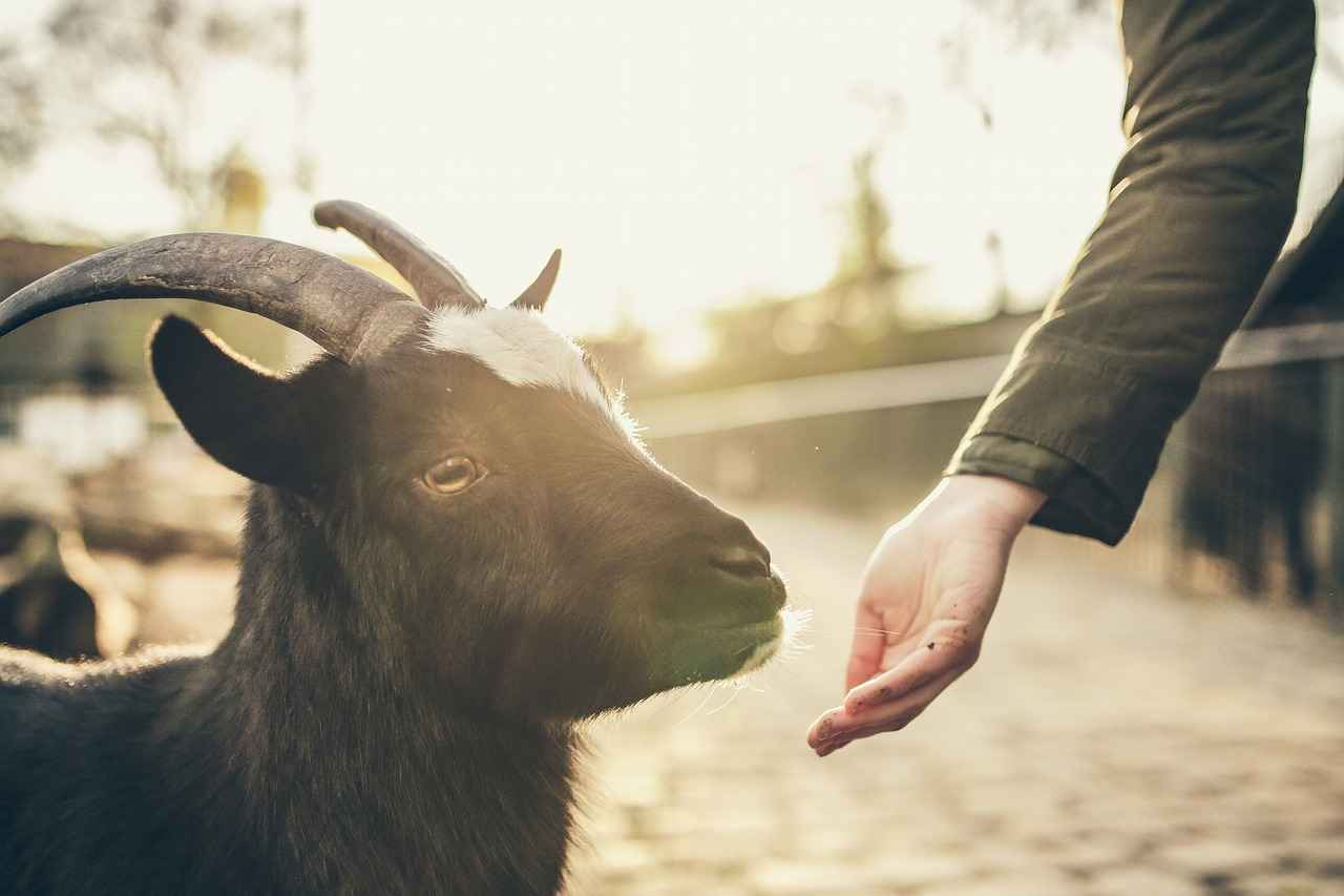 Can Goats and Sheep Eat Corn – The Definite Guide