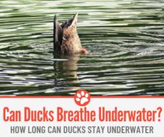 How Long Can Ducks Stay Underwater? - Can Ducks Breathe Underwater?