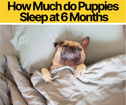 How Much do Puppies Sleep at 6 Months - How much is Enough?