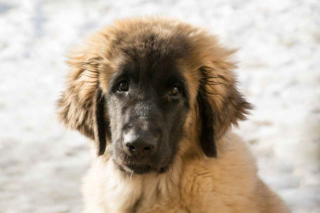How to Tell If a Puppy Will Have Long Hair - Ultimate Guide