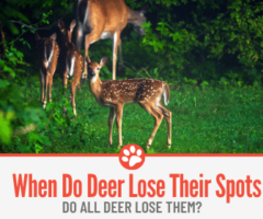 When Do Deer Lose Their Spots? And Why?