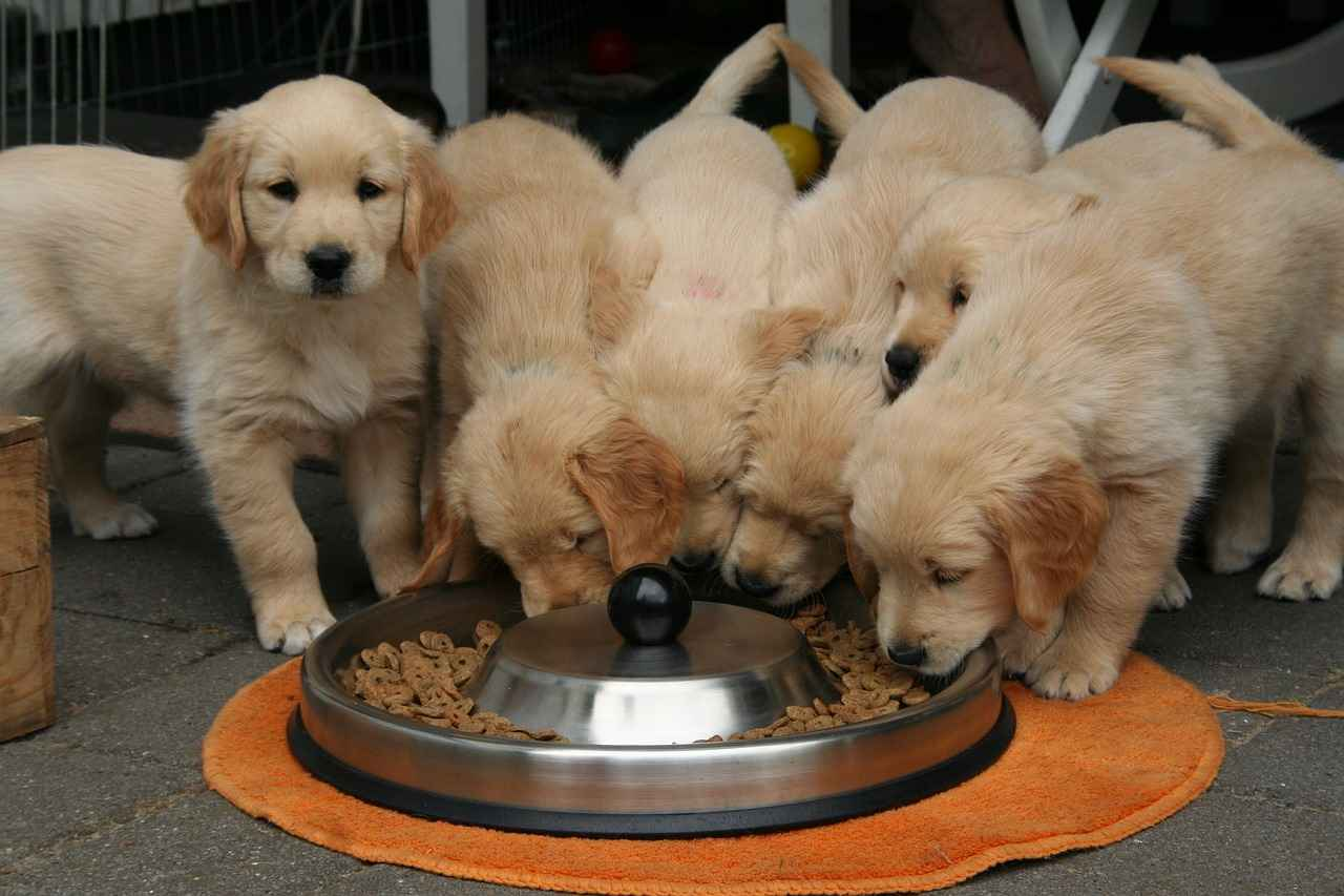 When Do Puppies Start Eating Food & Drinking Water