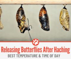 When to Release Butterflies After Hatching - Best Temperature & Time Of Day!