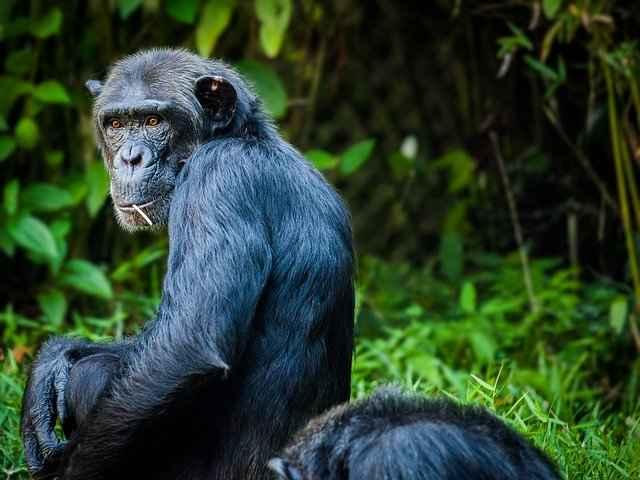 Do Monkeys Eat Meat? What About Baboons ,Gorillas, Orangutans?
