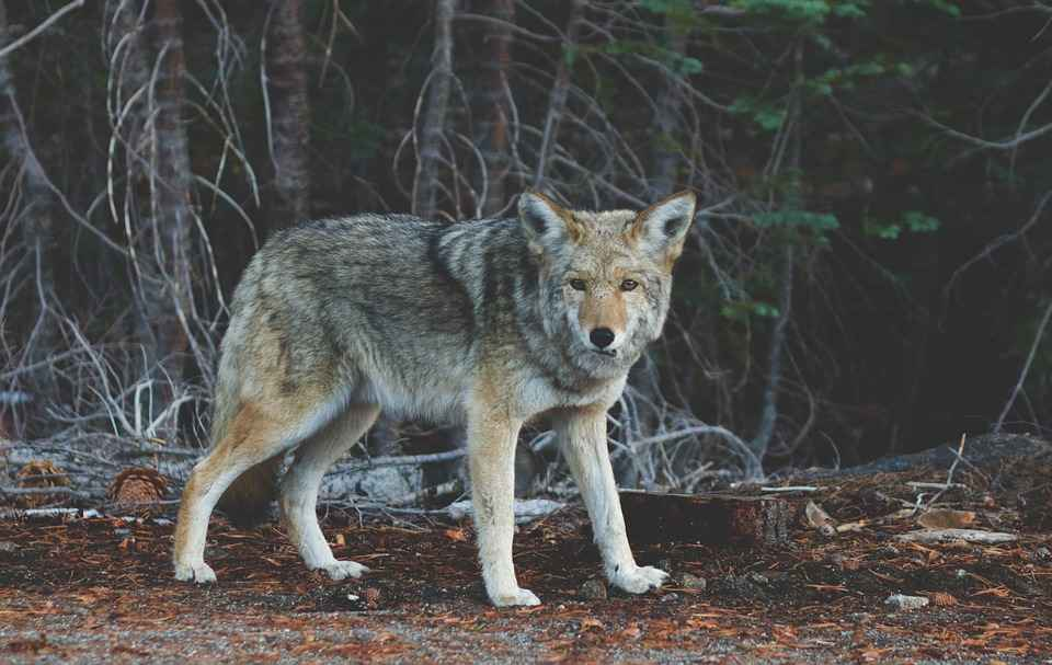 Will Lights Keep Coyotes Away? Are Coyotes Scared of Lights