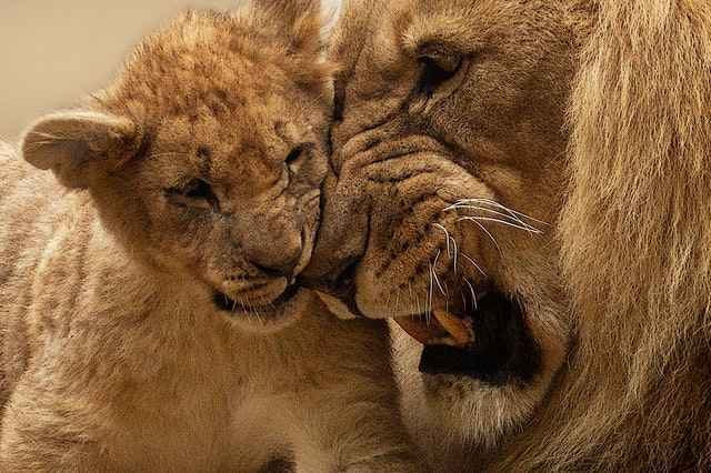 Do Lions Eat Their Young Cubs?