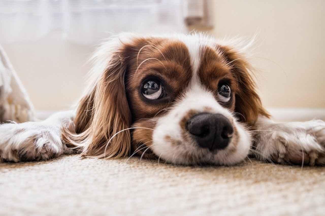 Do Dogs Have Eyelashes?