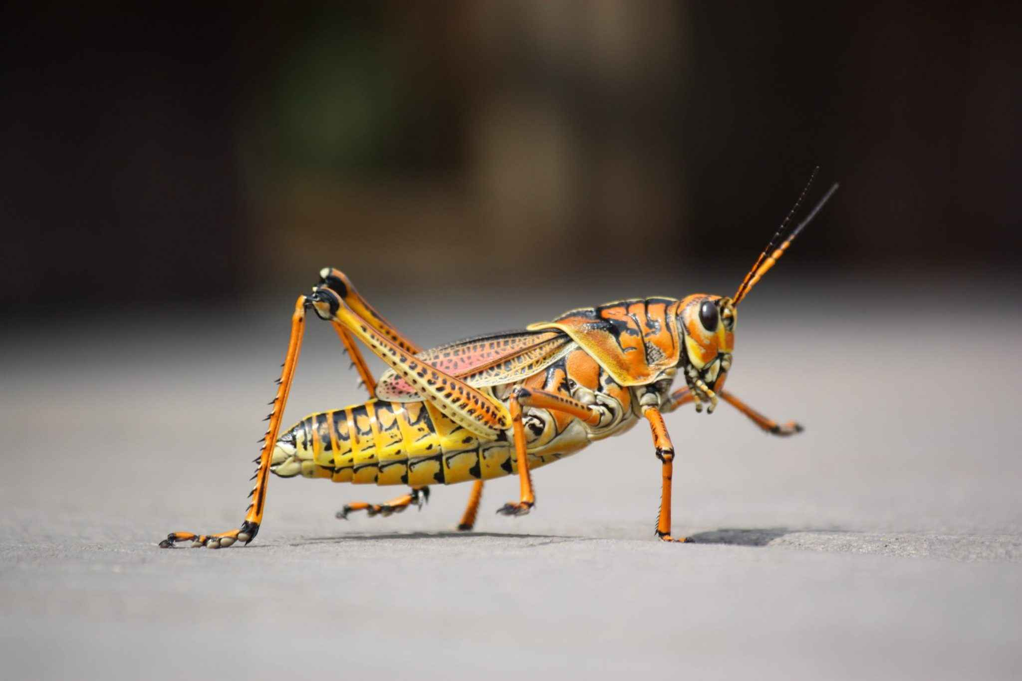 Do Grasshoppers Have Wings? Can They Fly?