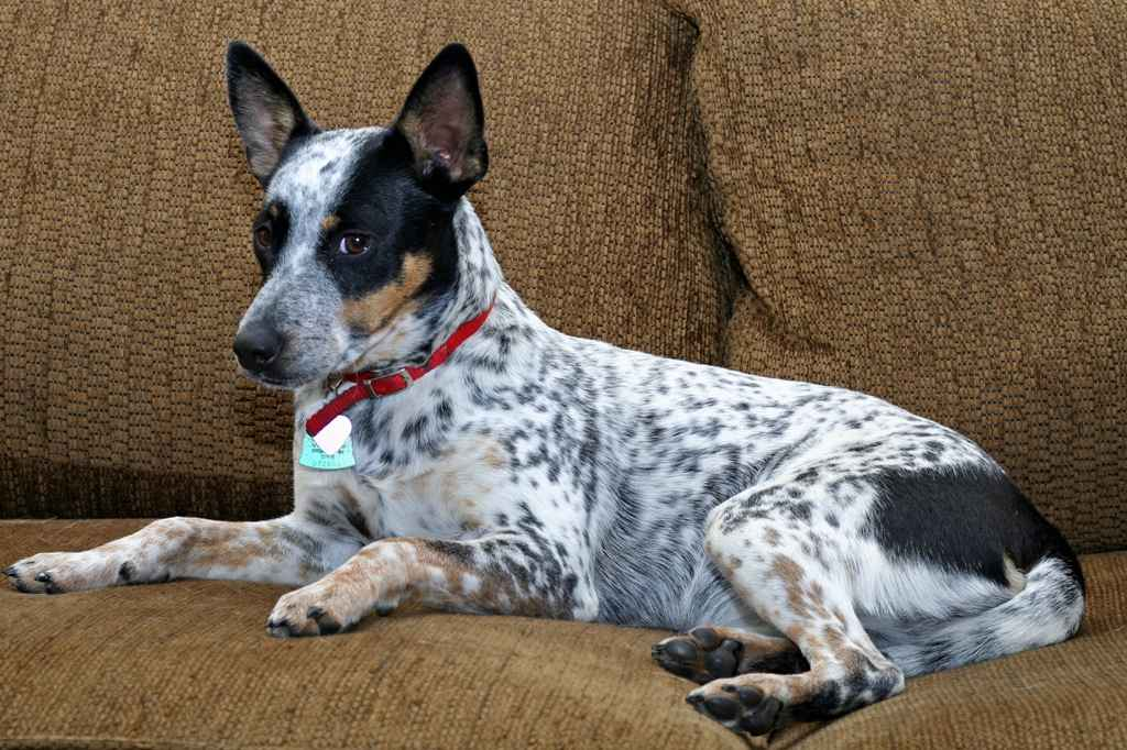 Blue Heeler Jack Russell Mix - Do they make Good pets?