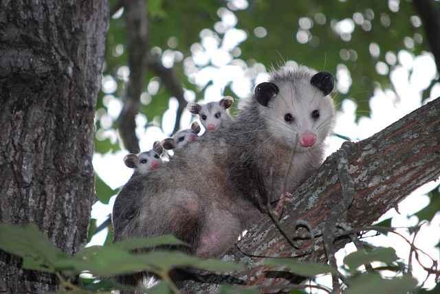 Do Possums Eat Cats & Kittens?