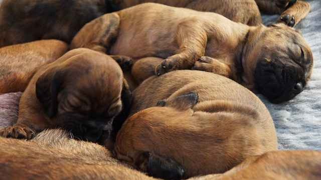 Are Pregnant Dogs Aggressive? What To do About it