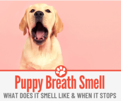 What Does Puppy Breath Smell Like - When does it Stops?