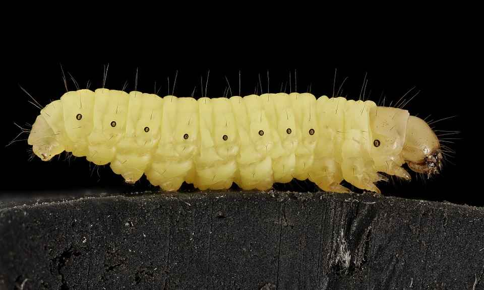 What Do Wax Worms eat? Storing and Breeding them
