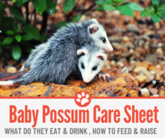 What do Baby Possums Eat and Drink? How to Feed,Raise & Care