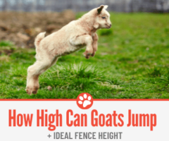 How High Can Goats Jump & What Fence to get for Your Goat!