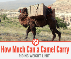 How Much Weight can a Camel Carry - Riding Weight Limit