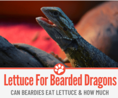 Can Bearded Dragons Eat Lettuce? How Much?