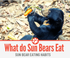 What Do Sun Bears Eat -Sun Bear Eating Habits