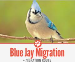 Do Blue Jays Migrate & Blue Jay Migration Route