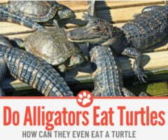 Do Alligators Eat Turtles? Can They Even Eat one?