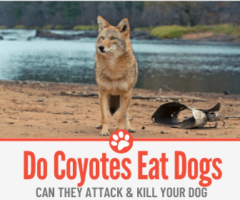 Do Coyotes Eat Dogs? Can They Attack your Dog?
