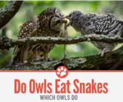 Do Owls Eat Snakes?
