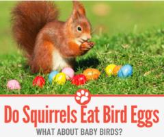 Do Squirrels Eat Bird Eggs + Birds & Baby Birds?