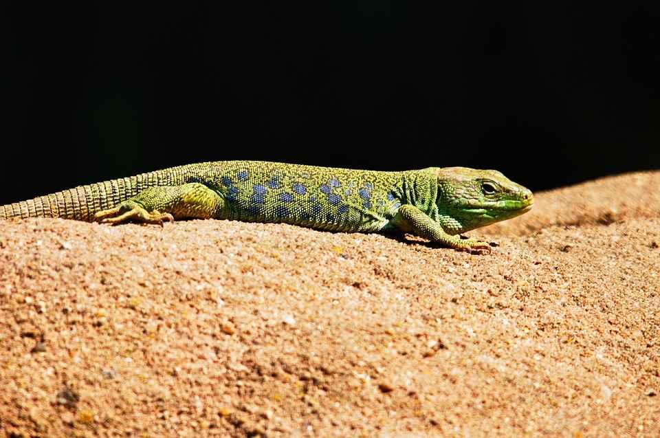 What Eats Lizards – Lizard Predators