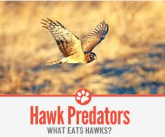 What Eats Hawks? Animals that Eat Hawks (Hawk Predators)
