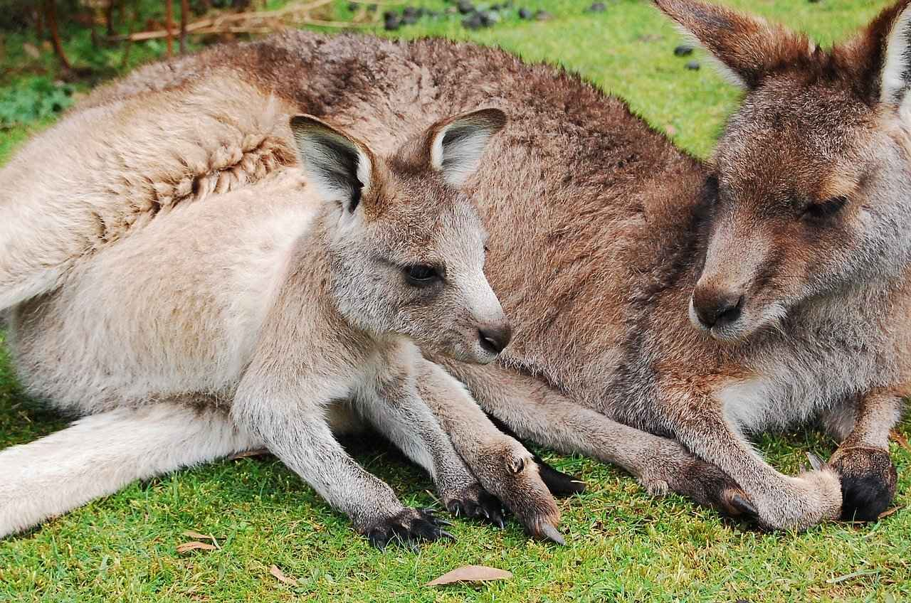 Do Male Kangaroos Have Pouches