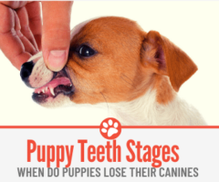 When Do Puppies Lose their Canines- Puppy Teeth Stages