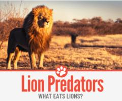 What Eats Lions? ( Lion Predators )