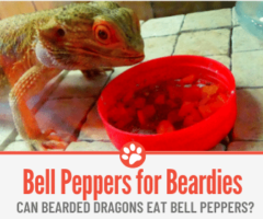 Can Bearded Dragons Eat Bell Peppers? Which Ones Are safe?