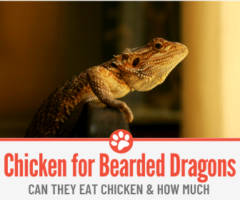 Can Bearded Dragons Eat Chicken?