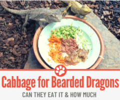 Can Bearded Dragons eat Cabbage?