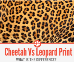 Cheetah VS Leopard Print – What is the Difference?