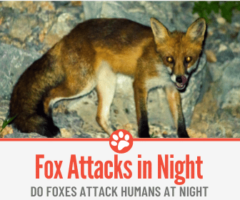 Do Foxes Attack Humans At Night -Can They Hurt You at Night?