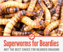 Superworms For Bearded Dragons - Not the best choice...
