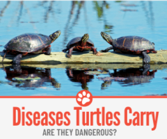 What Diseases Do Turtles Carry -Are they Dangerous?