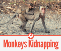 Why Do Monkeys Kidnap Baby Monkeys -What about Human Babies?