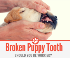 Broken Puppy Tooth - Should I be Worried & Is It painful?